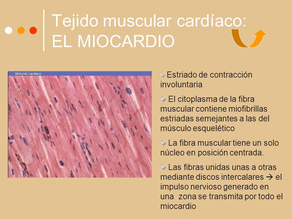 Tejido muscular cardíaco: EL MIOCARDIO