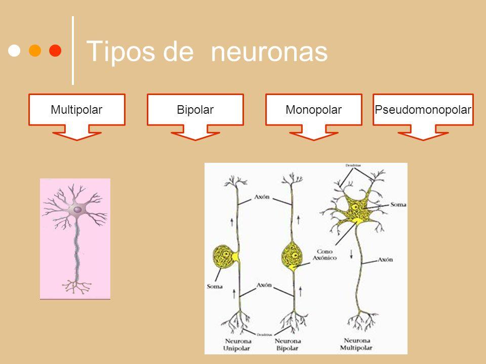 Tipos de neuronas Multipolar Bipolar Monopolar Pseudomonopolar