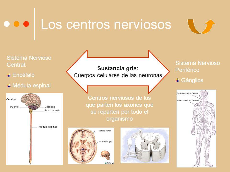 Cuerpos celulares de las neuronas