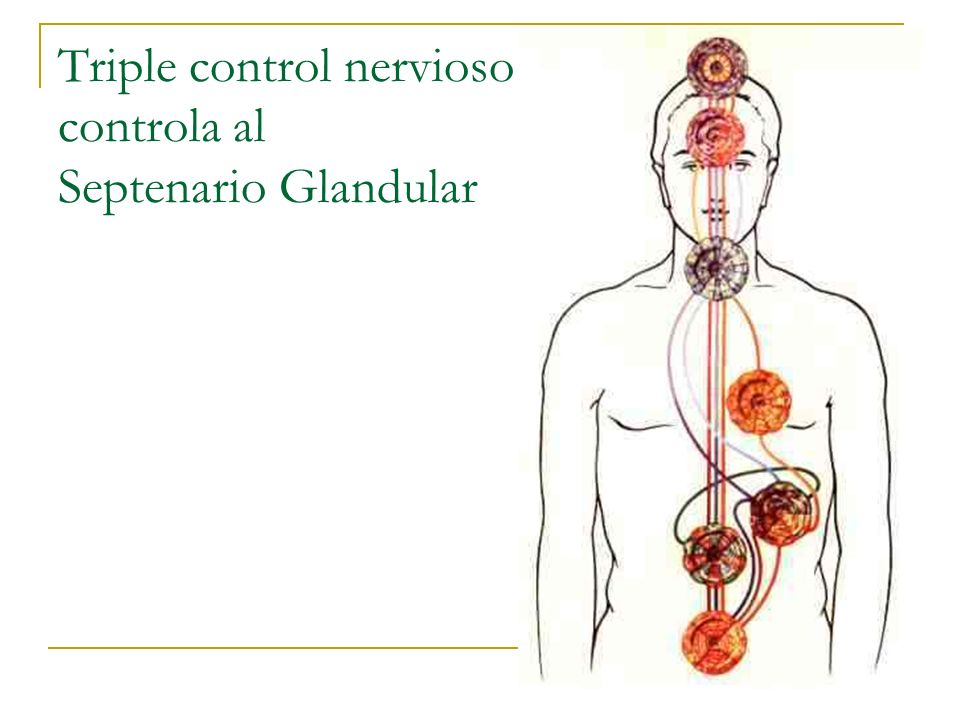 Triple control nervioso controla al Septenario Glandular