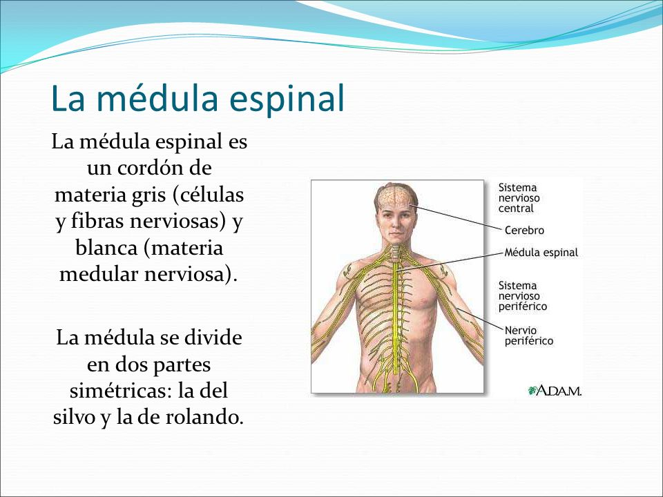 La médula espinalLa médula espinal es un cordón de materia gris (células y fibras nerviosas) y blanca (materia medular nerviosa).
