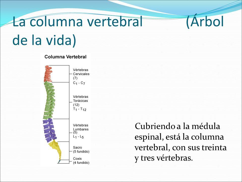 La columna vertebral (Árbol de la vida)