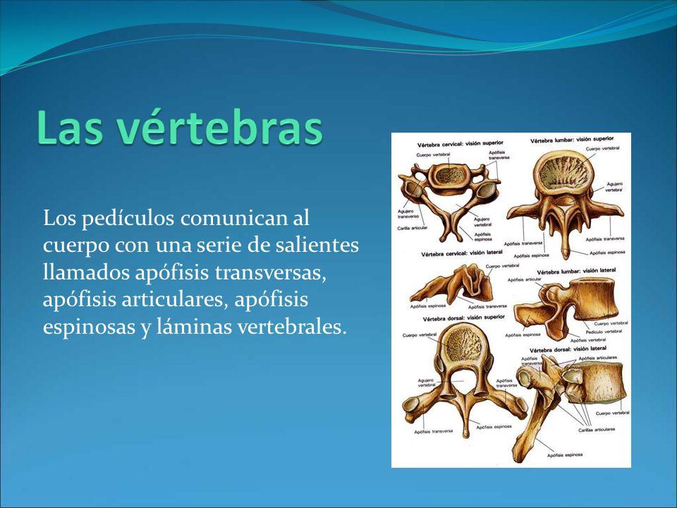 Los pedículos comunican al cuerpo con una serie de salientes llamados apófisis transversas, apófisis articulares, apófisis espinosas y láminas vertebrales.