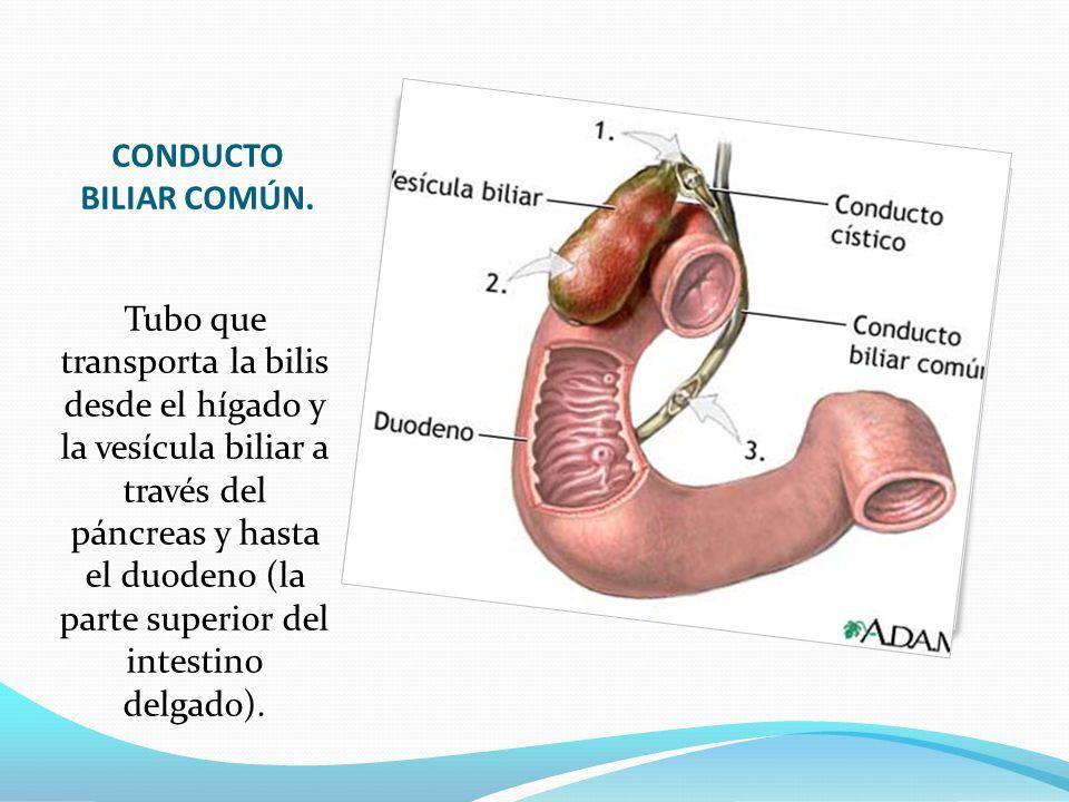Encantador Anatomía Del Conducto Biliar Común Molde - Anatomía de ...