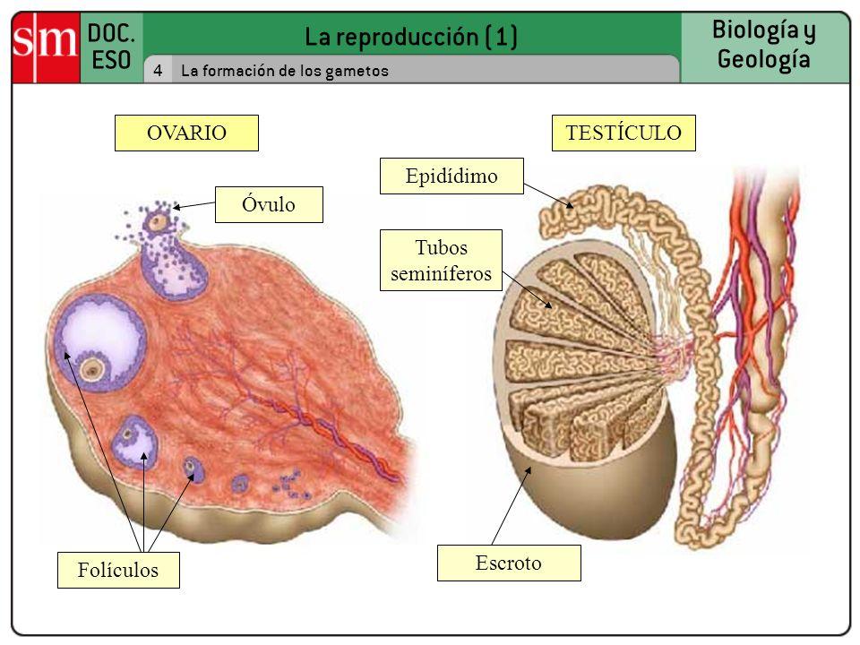 OVARIO TESTÍCULO Epidídimo Óvulo Tubos seminíferos Escroto Folículos 4