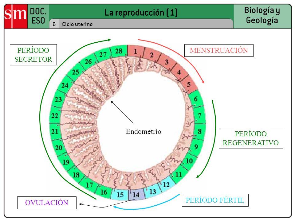La reproducción (1) PERÍODO SECRETOR MENSTRUACIÓN Endometrio