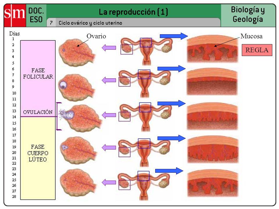 La reproducción (1) Ovario Mucosa REGLA 7