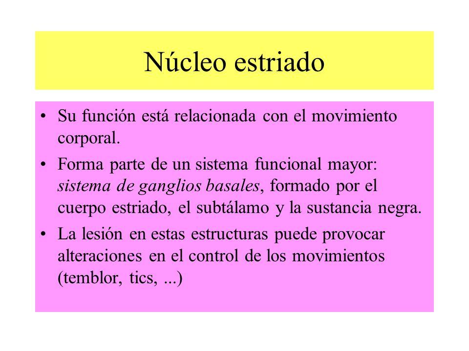 Núcleo estriado Su función está relacionada con el movimiento corporal.