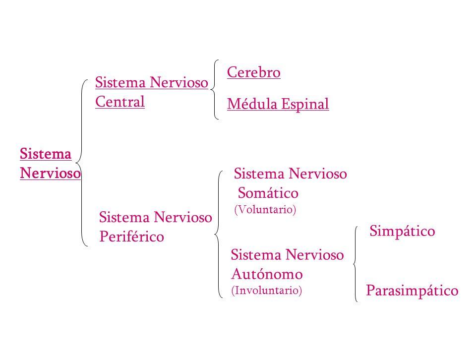 Cerebro Sistema Nervioso Central Médula Espinal Sistema Nervioso