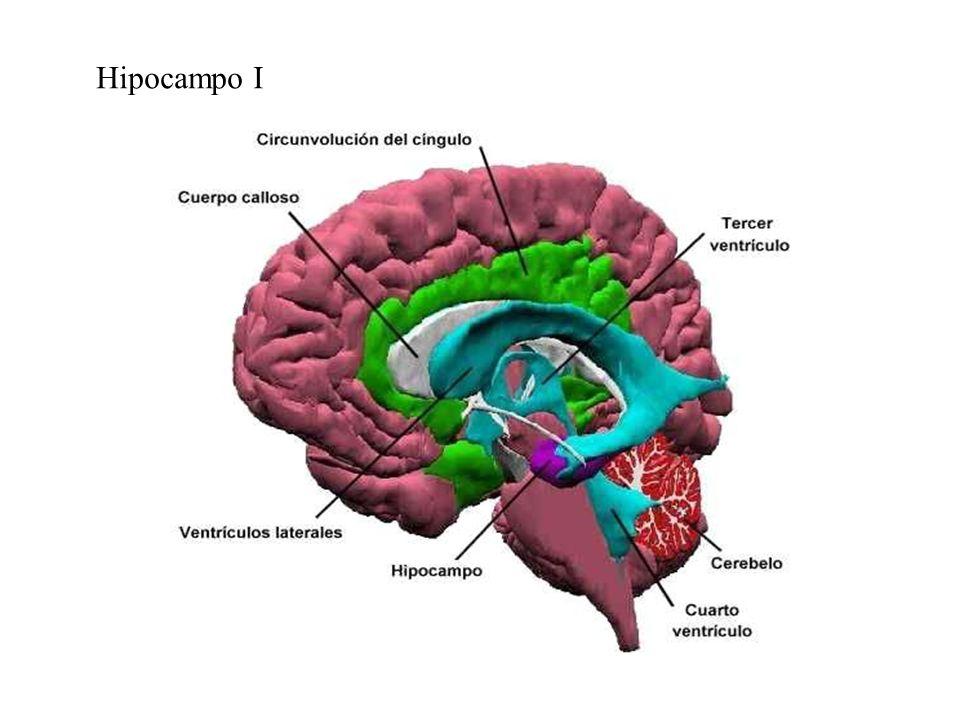 Hipocampo I