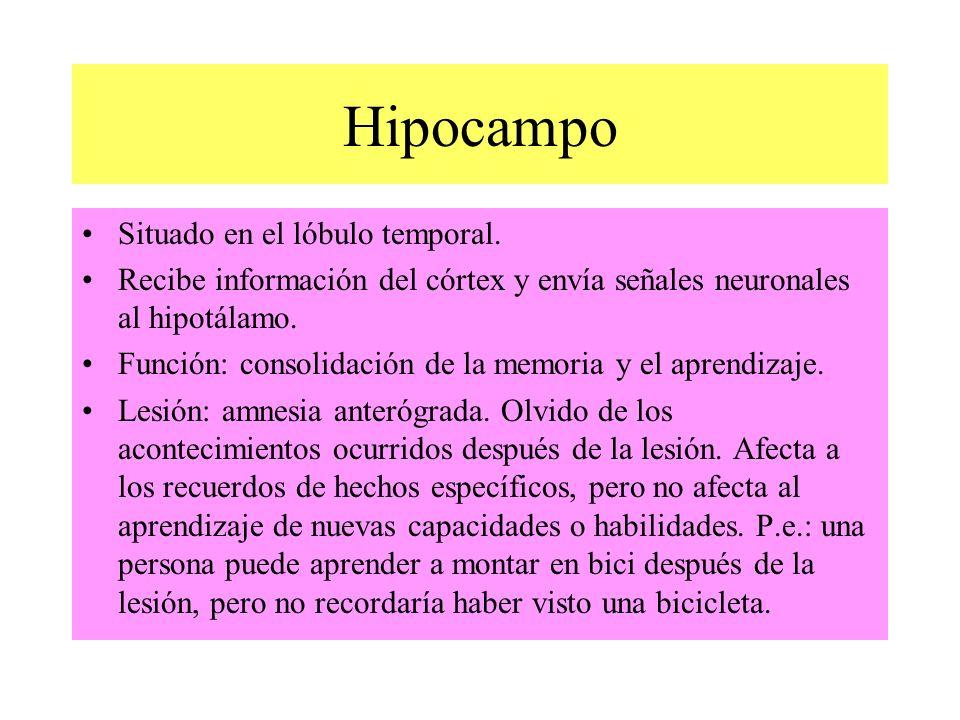 Hipocampo Situado en el lóbulo temporal.