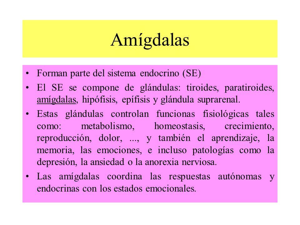 Amígdalas Forman parte del sistema endocrino (SE)
