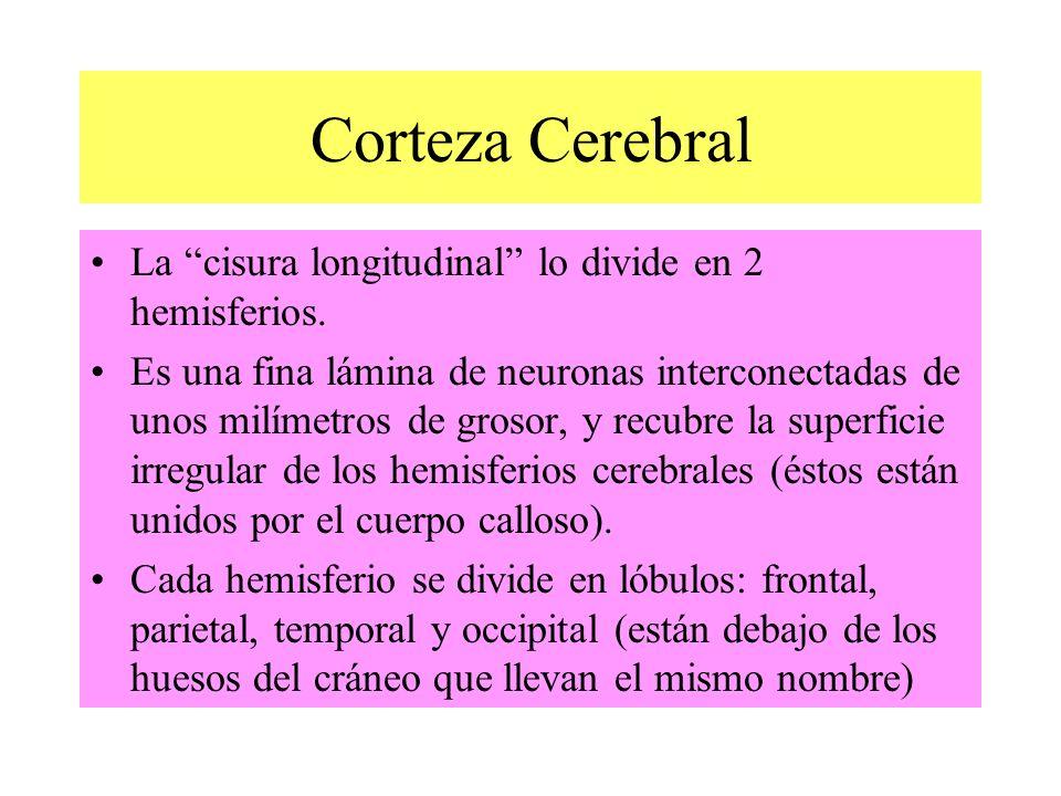 Corteza Cerebral La cisura longitudinal lo divide en 2 hemisferios.