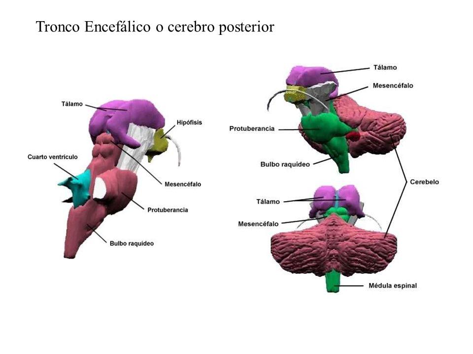 Tronco Encefálico o cerebro posterior