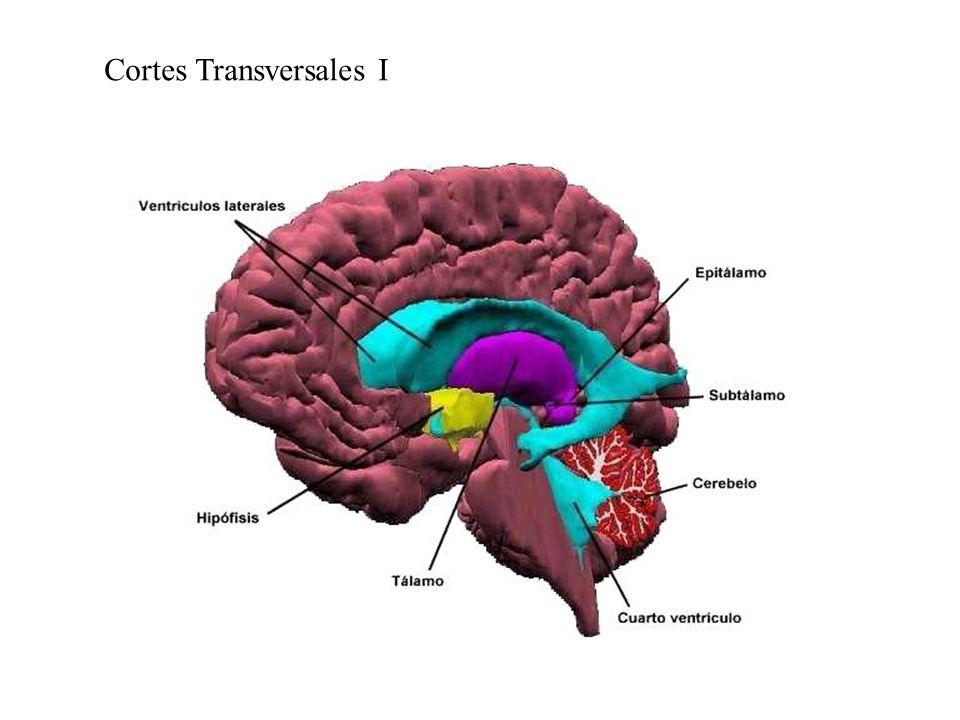 Cortes Transversales I