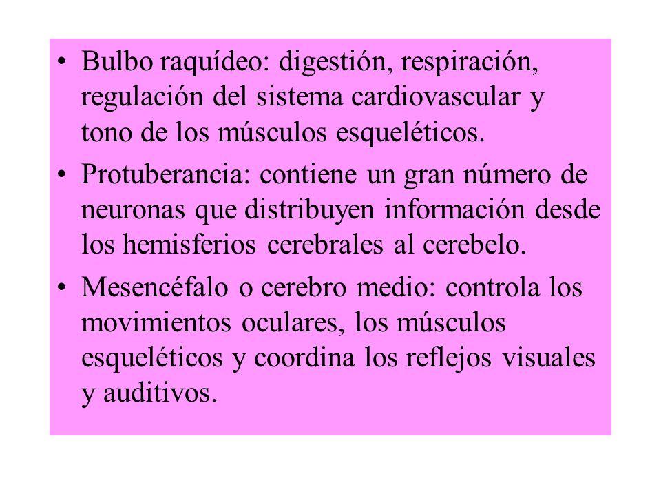 Bulbo raquídeo: digestión, respiración, regulación del sistema cardiovascular y tono de los músculos esqueléticos.