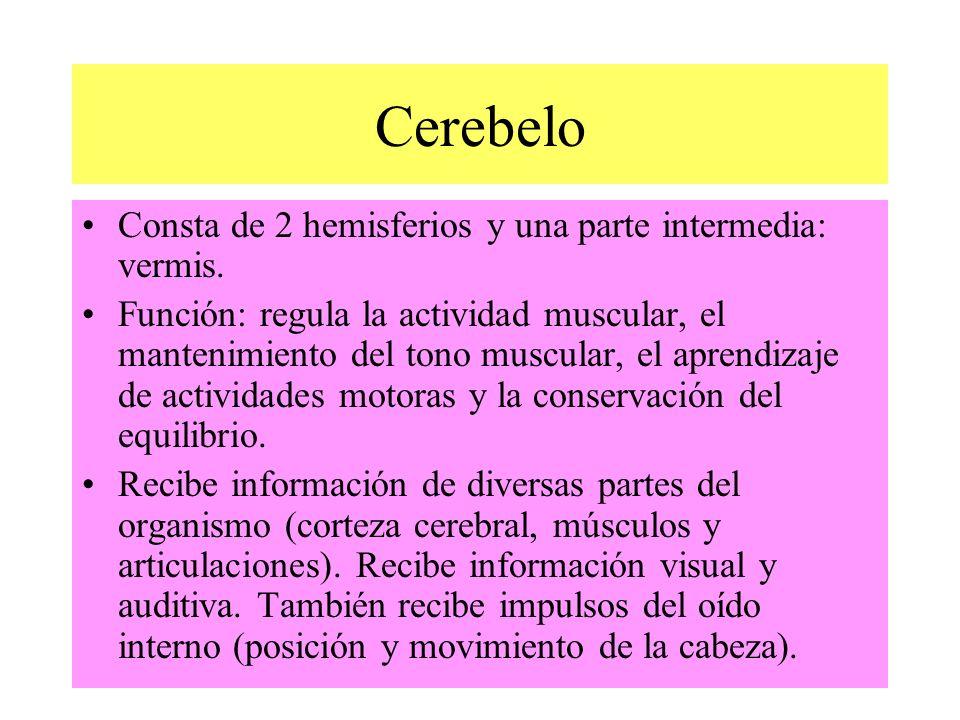 Cerebelo Consta de 2 hemisferios y una parte intermedia: vermis.