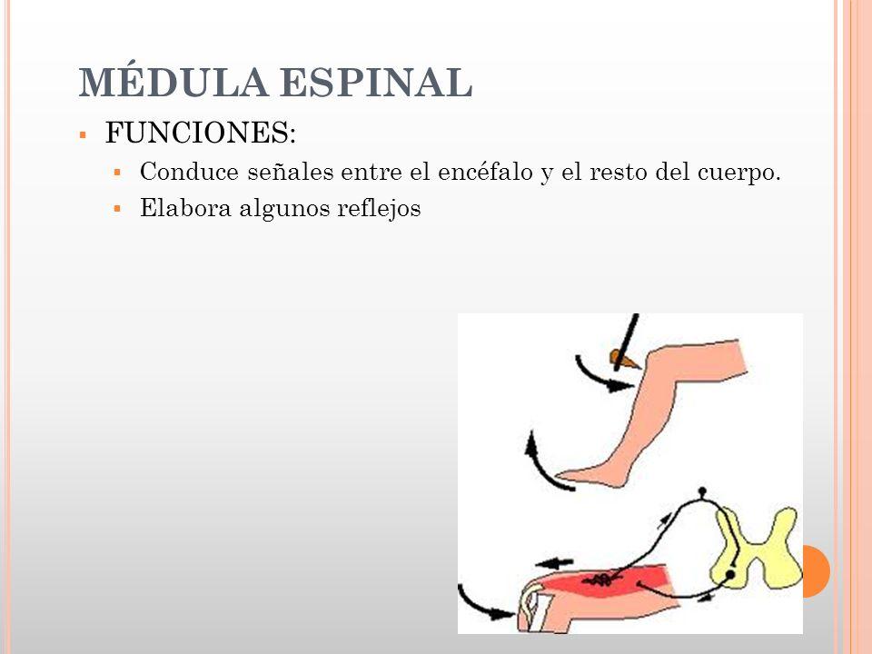 MEDULA ESPINAL Y ARCO REFLEJO - ppt descargar