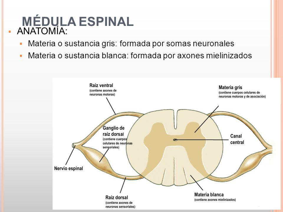 Magnífico Anatomía De La Neurona Motora Bandera - Imágenes de ...