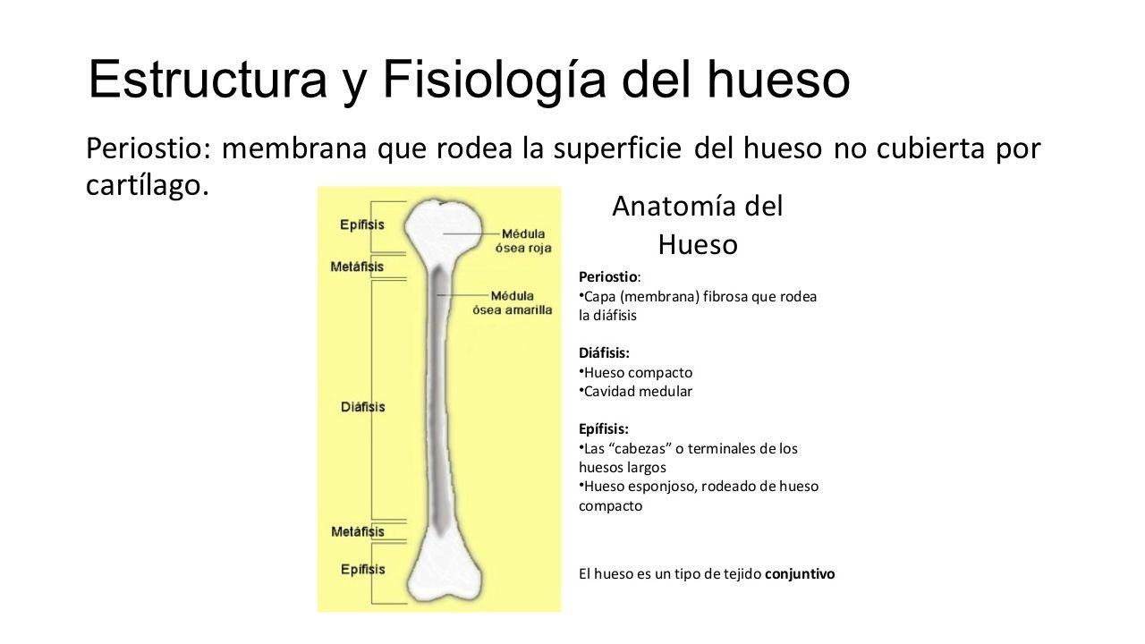 Increíble Huesos De La Anatomía Y Fisiología Patrón - Imágenes de ...