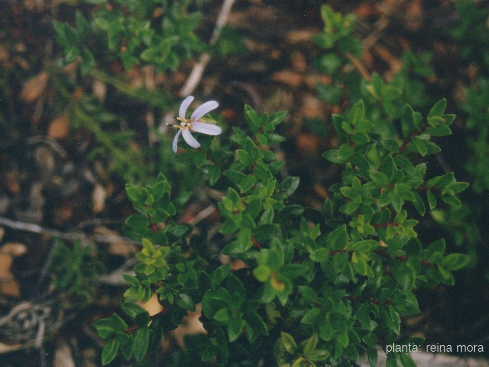 planta: reina mora