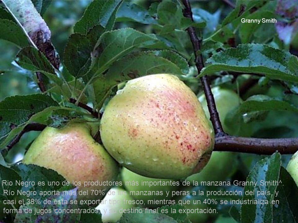 Granny Smith Rio Negro es uno de los productores más importantes de la manzana Granny Smith^.