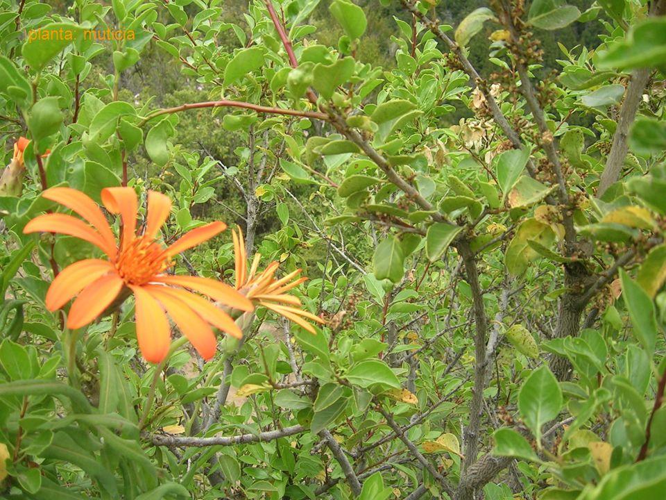planta: muticia