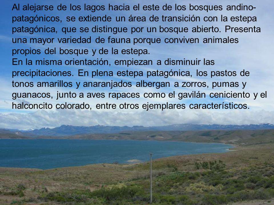 Al alejarse de los lagos hacia el este de los bosques andino-patagónicos, se extiende un área de transición con la estepa patagónica, que se distingue por un bosque abierto.