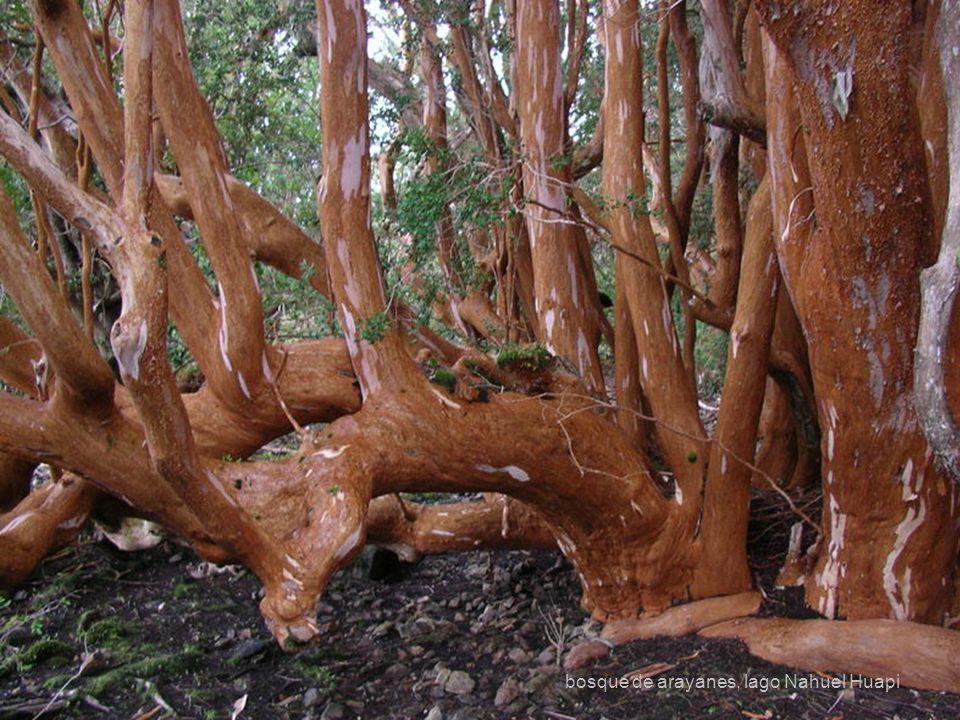 bosque de arayanes, lago Nahuel Huapi