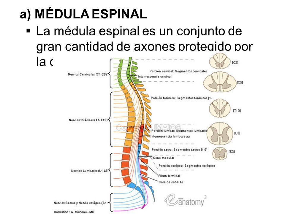 Lujoso Columna Vertebral Y La Anatomía De La Médula Espinal ...