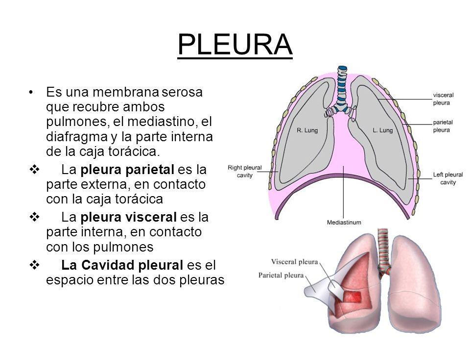 Famoso Anatomía De La Cavidad Torácica Elaboración - Imágenes de ...