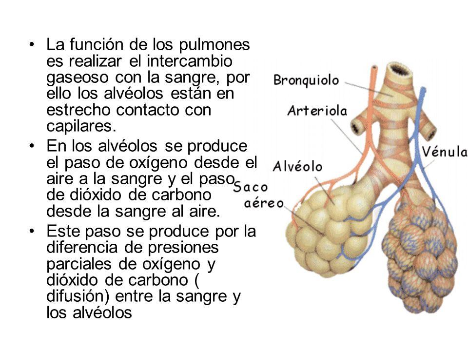 El Intercambio Gaseoso Se Produce En Los Alveolos Y Con La Sangre ...