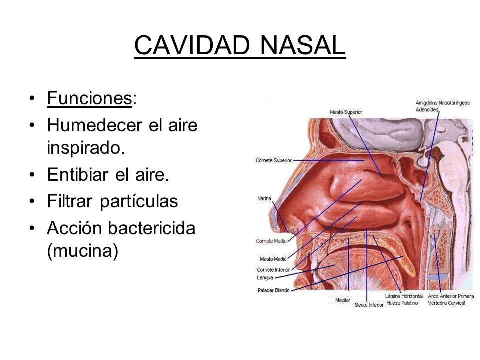 Bonito Foto Cavidad Nasal Friso - Anatomía de Las Imágenesdel Cuerpo ...