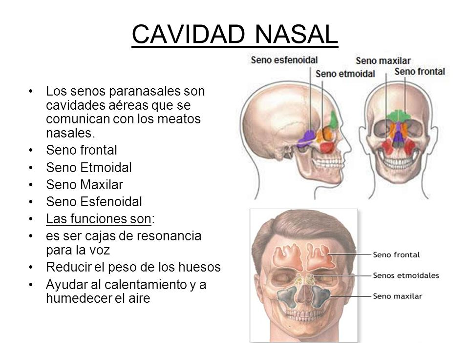Excelente Cavidad Nasal Adorno - Anatomía de Las Imágenesdel Cuerpo ...