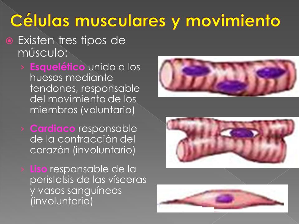 Atractivo 3 Tipos De Células Musculares Motivo - Anatomía de Las ...