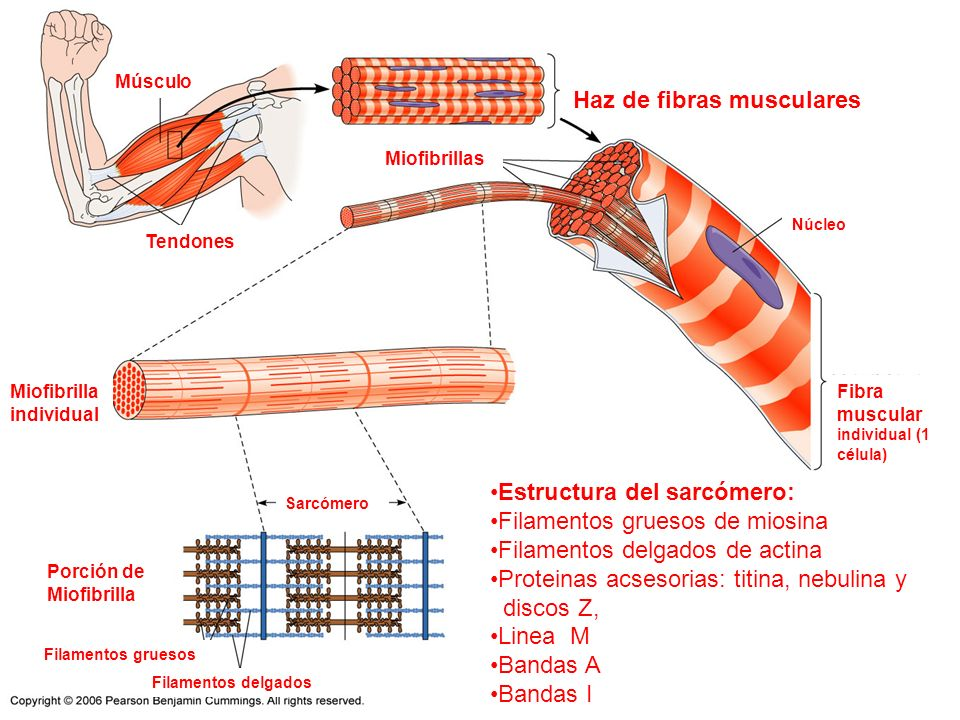 Encantador Anatomía Fibra Muscular Ideas - Anatomía de Las ...