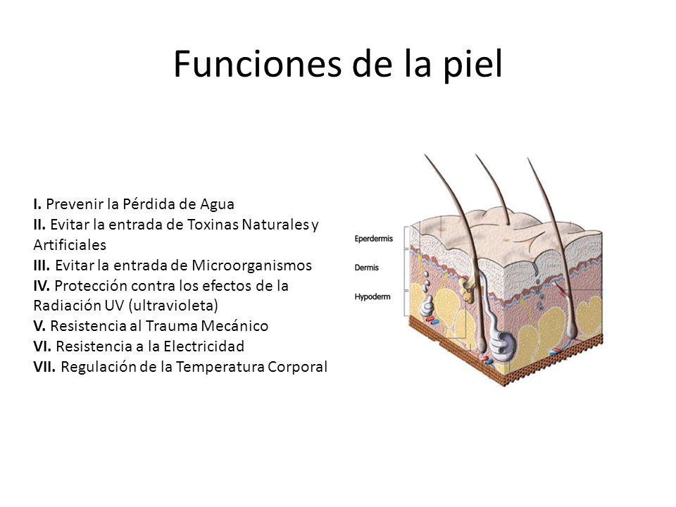 Funciones de la piel I. Prevenir la Pérdida de Agua