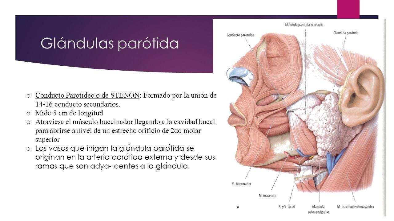 Perfecto Glándula Parótida Anatomía Conducto Regalo - Imágenes de ...