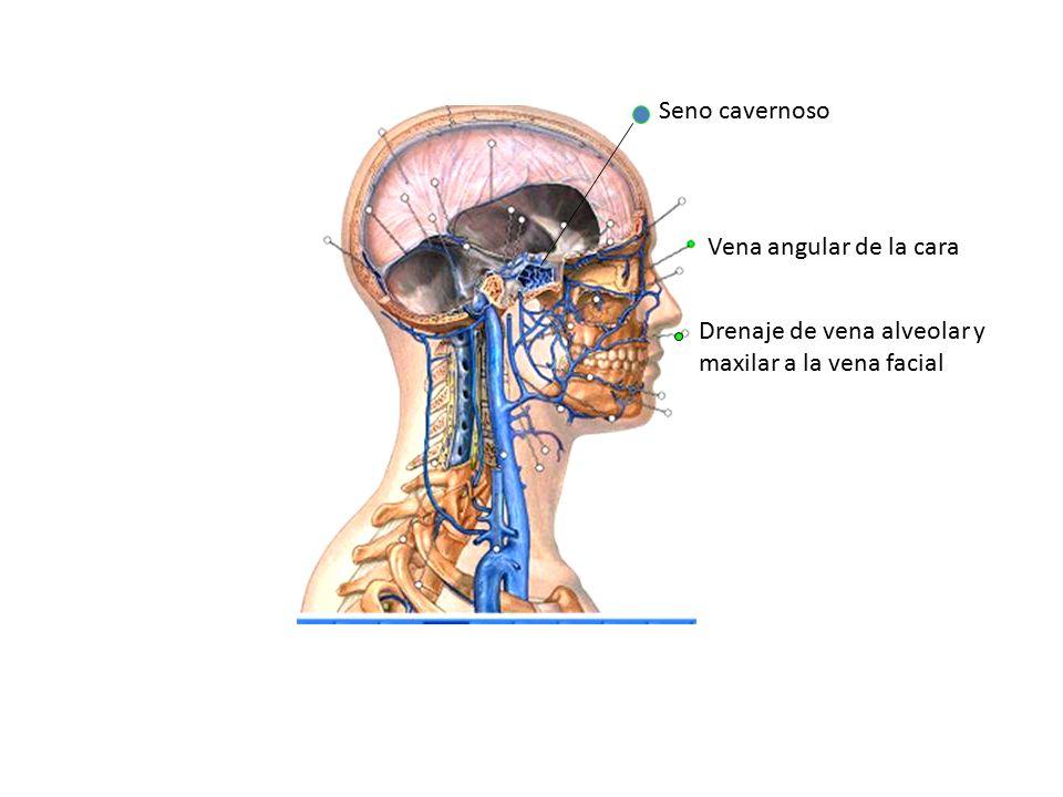 Hermosa La Anatomía Del Seno Cavernoso Fotos - Anatomía de Las ...