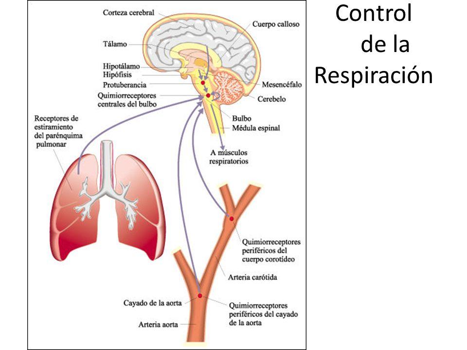 Control De La Respiración Y Dolor De Espalda: APARATO RESPIRATORIO.