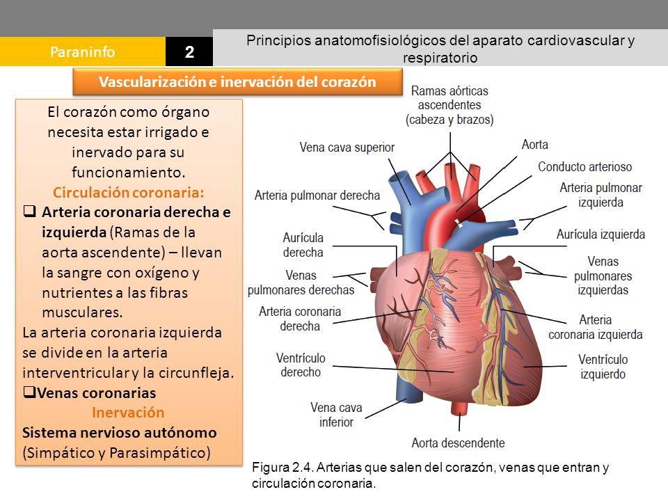 Magnífico Arteria Coronaria Circulación Anatomía Elaboración ...