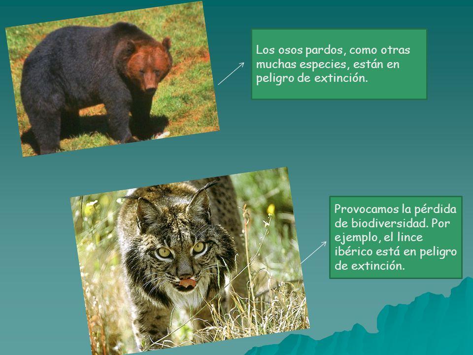 Los osos pardos, como otras muchas especies, están en peligro de extinción.