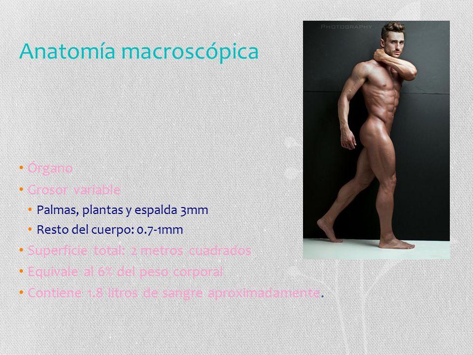 Anatomía macroscópica