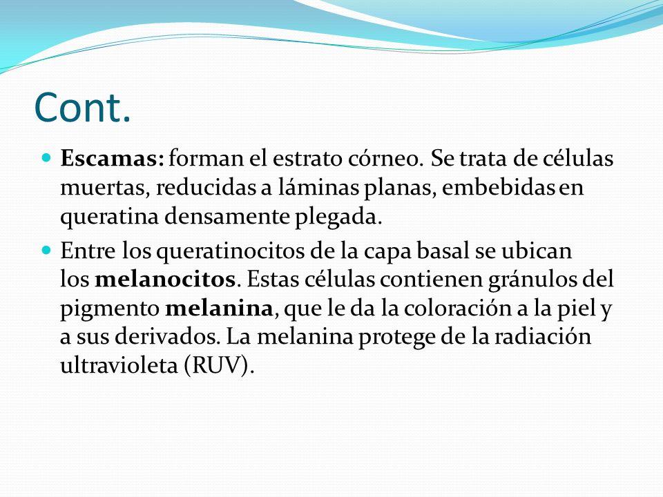 Cont. Escamas: forman el estrato córneo. Se trata de células muertas, reducidas a láminas planas, embebidas en queratina densamente plegada.
