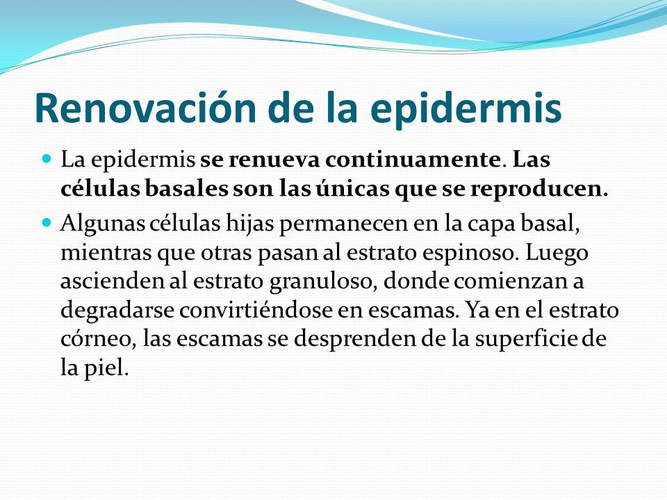 Renovación de la epidermis