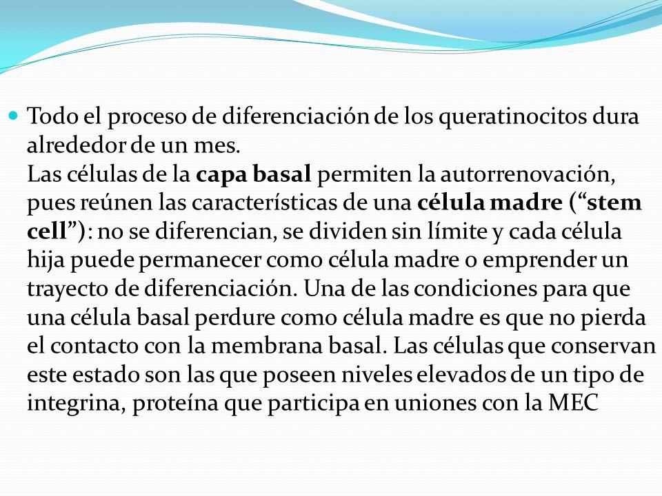 Todo el proceso de diferenciación de los queratinocitos dura alrededor de un mes.
