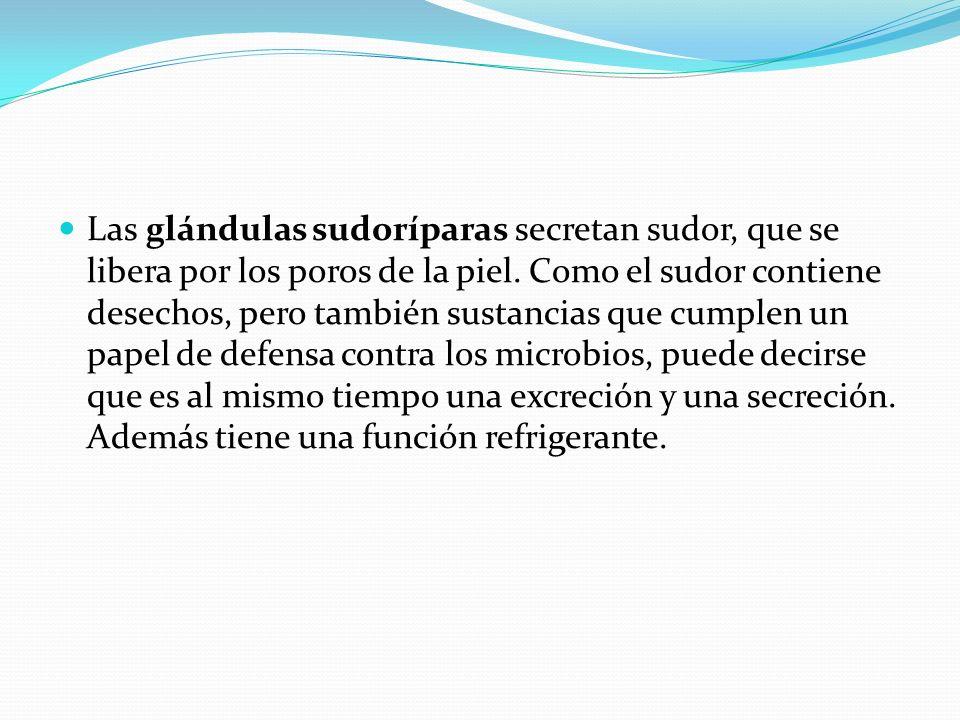 Las glándulas sudoríparas secretan sudor, que se libera por los poros de la piel.
