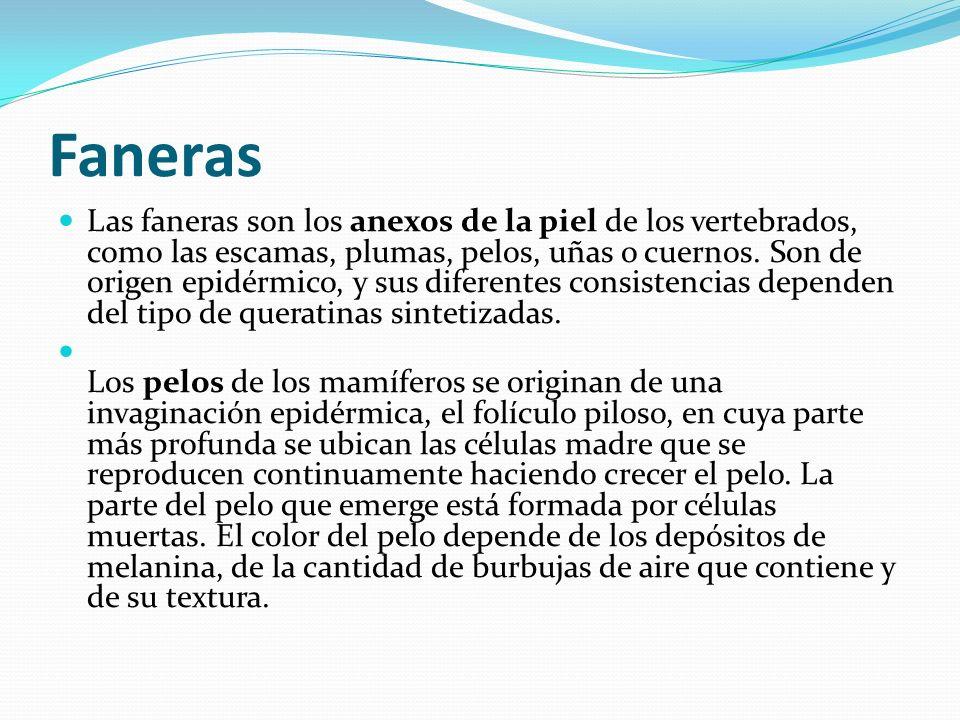 Faneras