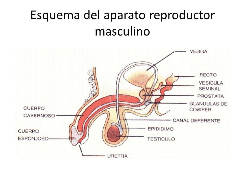 Lujo Cuerpo Humano Diagrama órgano Femenino Composición - Anatomía ...