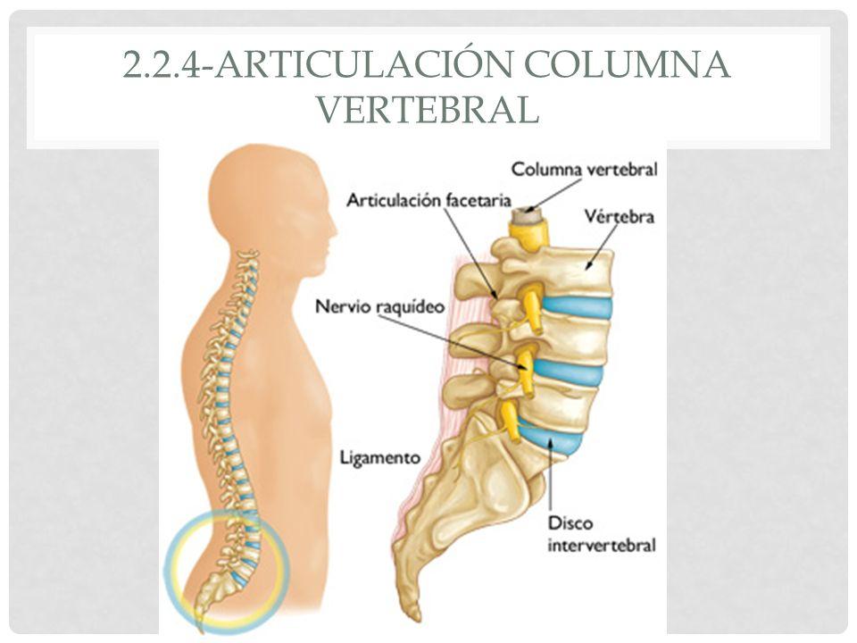 Bonito Anatomía Articulación Facetaria Ornamento - Imágenes de ...